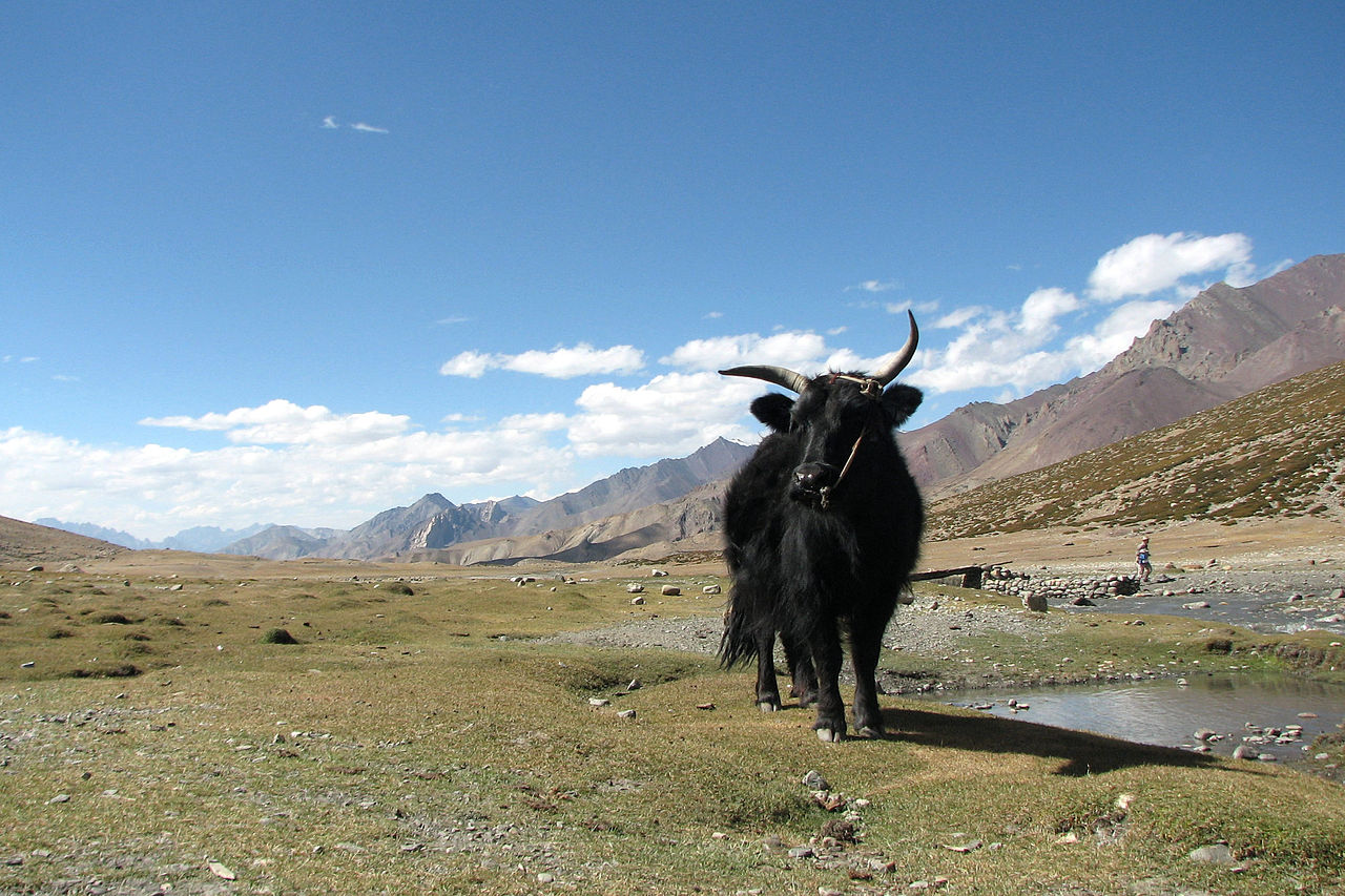 "Yak at markha valley"" von Balachandran Chandrasekharan"